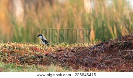 Loggerhead Shrike Bird Lanius Ludovicianus Perches On The Ground