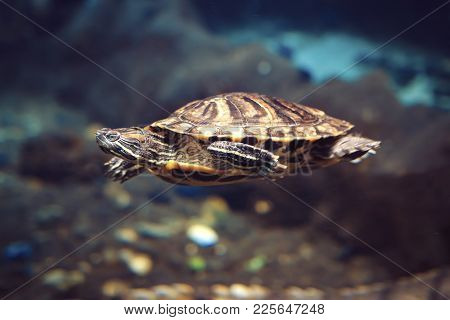 Sea Turtle At Depth In Sea Blue Water. Sea Turtle Swims To The Bottom Of The Deep Sea