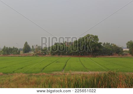 Rural Farmland. Rice Field In Thailand. Wet Paddy Field.
