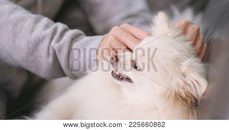 Woman massaging white pomeranian dog