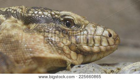 Collared Lizard close up