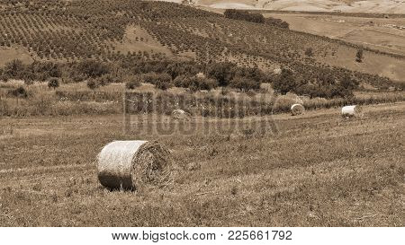 Harvested Wheat Field And Olive Groves On The Hills In Sicily, Vintage Style Sepia
