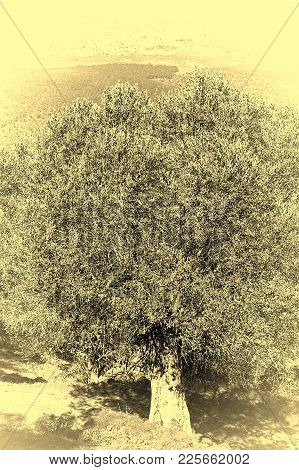 Old Olive Tree And Aerial View From Mount Tabor To Arab City And Jezreel  Valley In Israel, Stylized