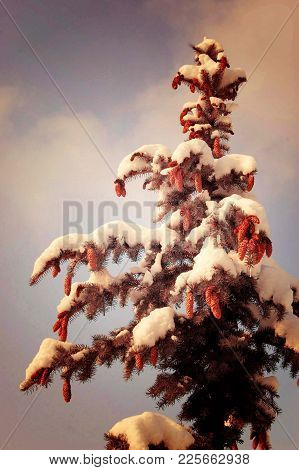 Spruce, Hanging A Lot Of Cones, Snow Lies On The Branches