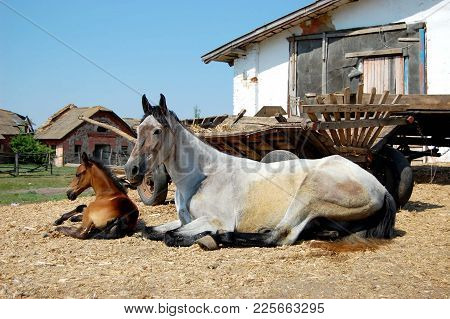 Mare With Foal Lying On The Straw Beside Carts In The Stables
