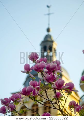 Blossoming Tree Of Pink Magnolia Close-up On A Church Background