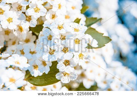 A Lot Of Little White Flowers With Yellow Stamens And Green Leaf