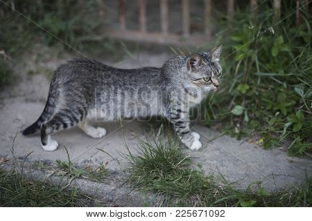 Feline, Domestic Animal, Mammal. Cute Cat With Grey Fur Walk On Garden Path On Summer Day. Pet, Comp