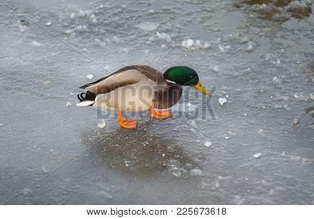 Lonely Male Of Mallard Walking On A Frozen River Dnipro In Search Of Ice-hole