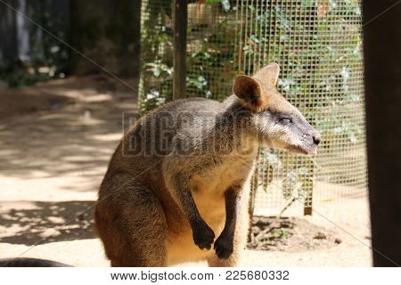 Wallaby Sticking His Tongue Out In The Sun