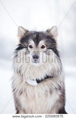 alaskan malamute mix dog posing outdoors in winter