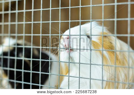 A Guinea Pig Biting The Bars Of His Cage