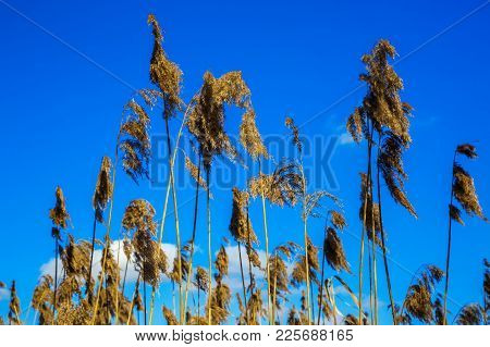 Dry Inflorescence Of Leaves And Stems Of Reeds Against The Blue Sky. Phragmites Australis, Refers To