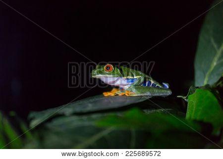 red-eye frog Agalychnis callidryas in Costa Rica, Central America