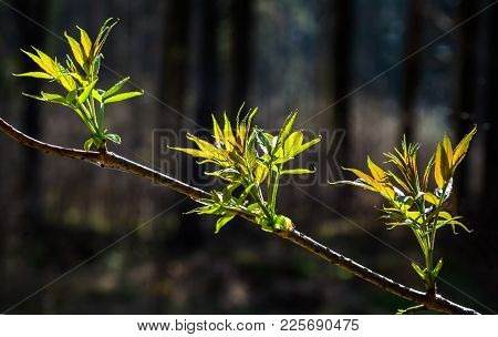 The Awakening Of Nature In The Spring. The First Tender Young Leaves And Buds On A Tree Branch. Apri