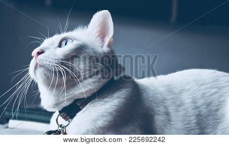 Siamese Cat Sit On The Bed And Looking Out Window, White Cat With Blue Eyes Looking At Birds, Pet In