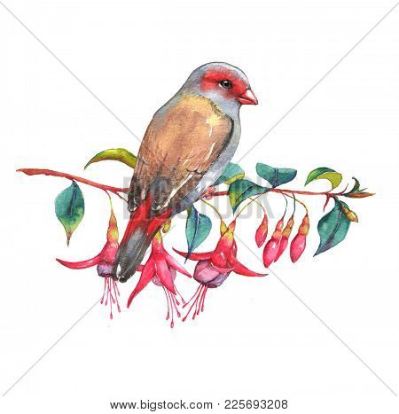 Hand-drawn Watercolor Illustration Of The Red-browed Finch On The Branch Of Fuchsia Flowers. Wild Co