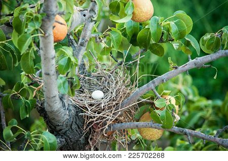 Thug Egg In A Nest And Mother Thug Among Pear Branches