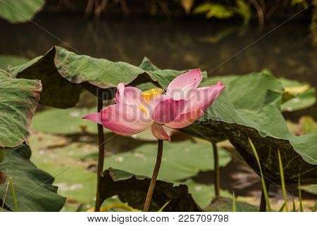 A View Of A Pink Lotus, An Aquatic Plant With Large, Showy Fower. An Scientists Call It Nelumbo Nuci