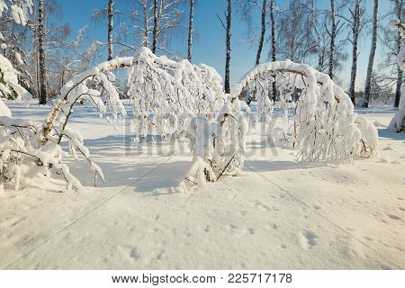 Snow Forest In Clear Weather. Trees Bent Under The Weight Of Snow.
