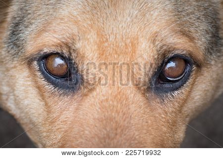 Portrait Of Thoroughbred Dog, Attentive Focused Look
