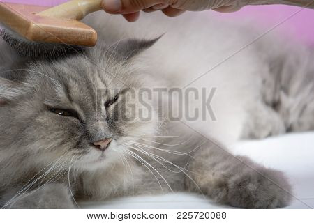 Brush The Cat Fur Comb On A Wooden Table And Gray Persian Cat. Enjoy And Happy The Pink Wall Backgro