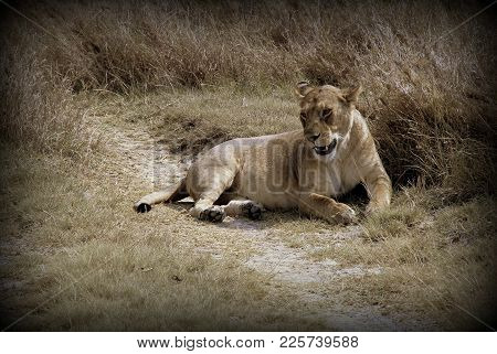 Lioness In The African Sabana Of Tanzania