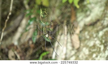 Large Tropical Spider, Nephila Golden Orb In The Web. Golden Silk Orb Weaving Spider Waiting On Her