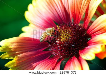 Macro Photo Of A Bee Close Up. A Bee Collects Nectar From Flower. Bee On A Flower. Macro Photo Of An