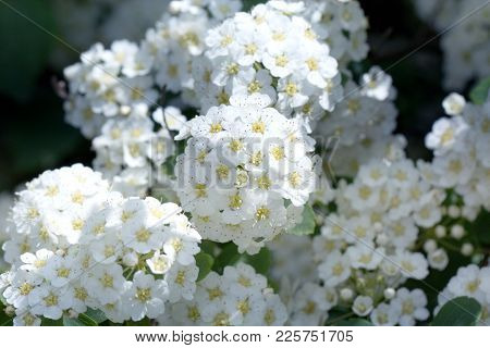 Spring Blooming Guelder-rose Shrub, Round White Flowers. Spring Abstract Blurred Background With Blo