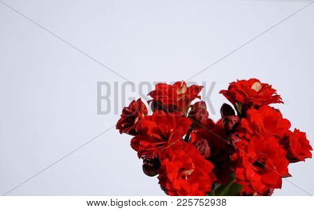 Red Blooming Flowers On A Blank White Background. Horizontal Design Backdrop.