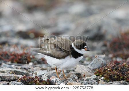 Adult Semipalmated Plover, Charadrius Semipalmatus, Ruffling Its Wings, Near Arviat Nunavut Canada