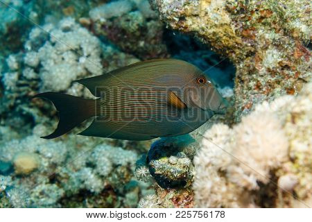 Straited Surgeonfish. Fish Of The Red Sea.