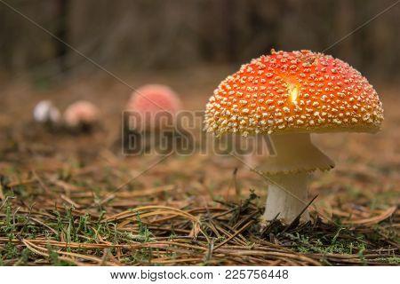 Mushroom Toadstool Under Autumn Leaves In The Woods
