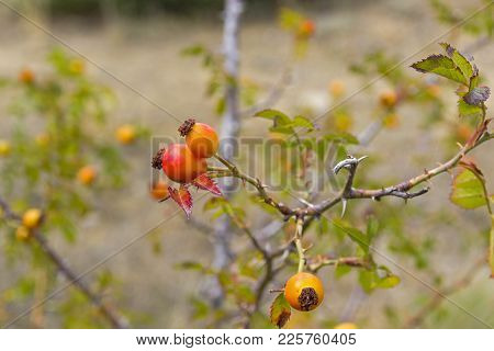 Fruits Of Wild Rose Hips Close-up. Forest In The Crimean Mountains.