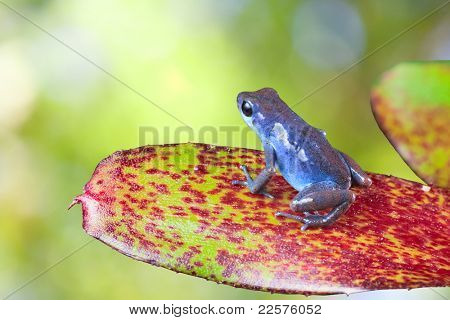 blue poison dart frog sitting on leaf in tropical rain forest. Oophaga pumilio, strawberry frog. beautiful exotic amphibian with vivid bright colors Panama rainforest