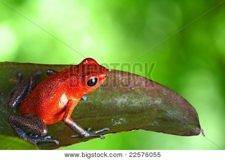 red poison dart frog sitting on leaf with copy space. Exotic rainforest animal bright vivid colors. dartfrog  in tropical rain forest. Oophaga pumilio, strawberry frog.  amphibian of jungle in Panama