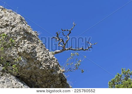 Silhouette Of A Dried Relic Pine In The Background Of A Blue Cloudless Sky. Crimea.