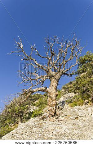 A Dried Relic Pine On A Mountain Slope. Sunny Morning. Karaul-oba, Novyy Svet, Crimea.