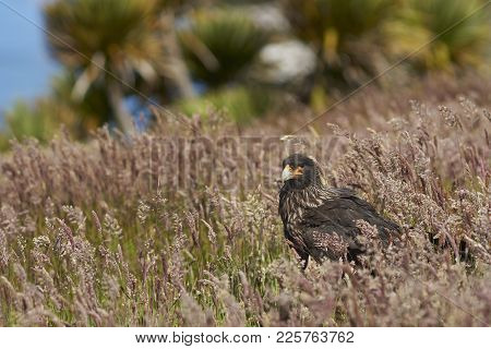 Striated Caracara (phalcoboenus Australis) Standing In A Meadow On Carcass Island In The Falkland Is