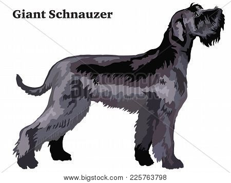 Portrait Of Standing In Profile Giant Schnauzer, Vector Colorful Illustration Isolated On White Back