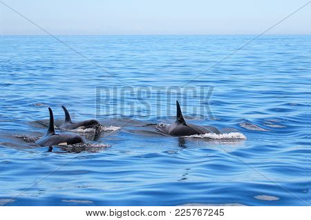 Pod Of Orca Killer Whales Swimming, Victoria, Canada. Blue Sky And Ocean.