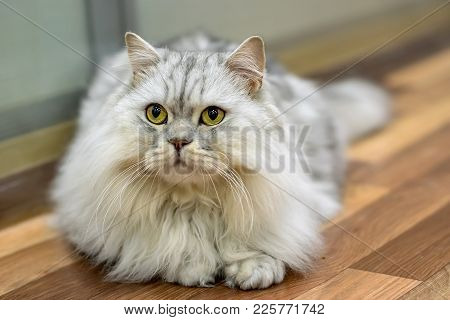 thoroughbred pedigree cat Scotch British breed with white color and very important look lazy and furry fluffy poster