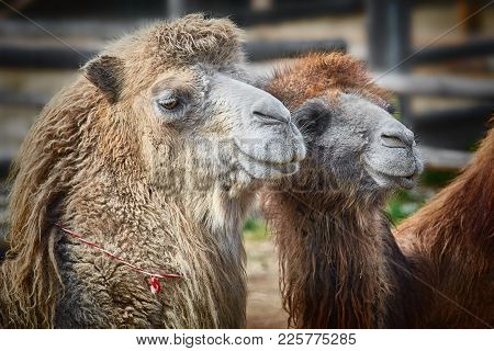 Close-up Portrait Of Camels In The Yard