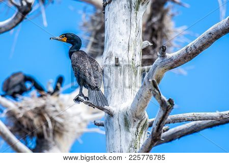 Double Crested Cormorants Sitting In Nesting Trees. Ontario, Canada.