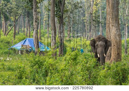 Coorg, India - October 29, 2013: Dubare Elephant Camp. Young Chained Male Elephant Stands In The Gre