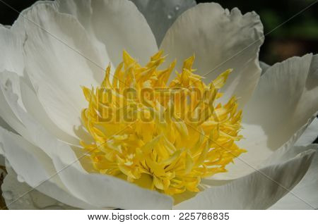 The Center Of A White And Yellow Flower Resembles An Egg White And Yolk