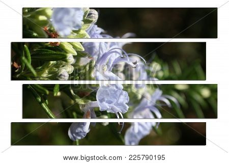 Rosemary Plant Art Stock Photo High Quality