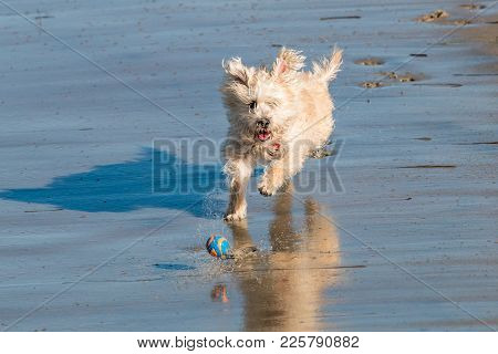 A Small White Dog Chasing A Ball At Dog Beach In San Diego, California.
