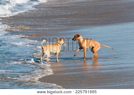 Two Dogs Greet Each Other At Dog Beach In San Diego, California.
